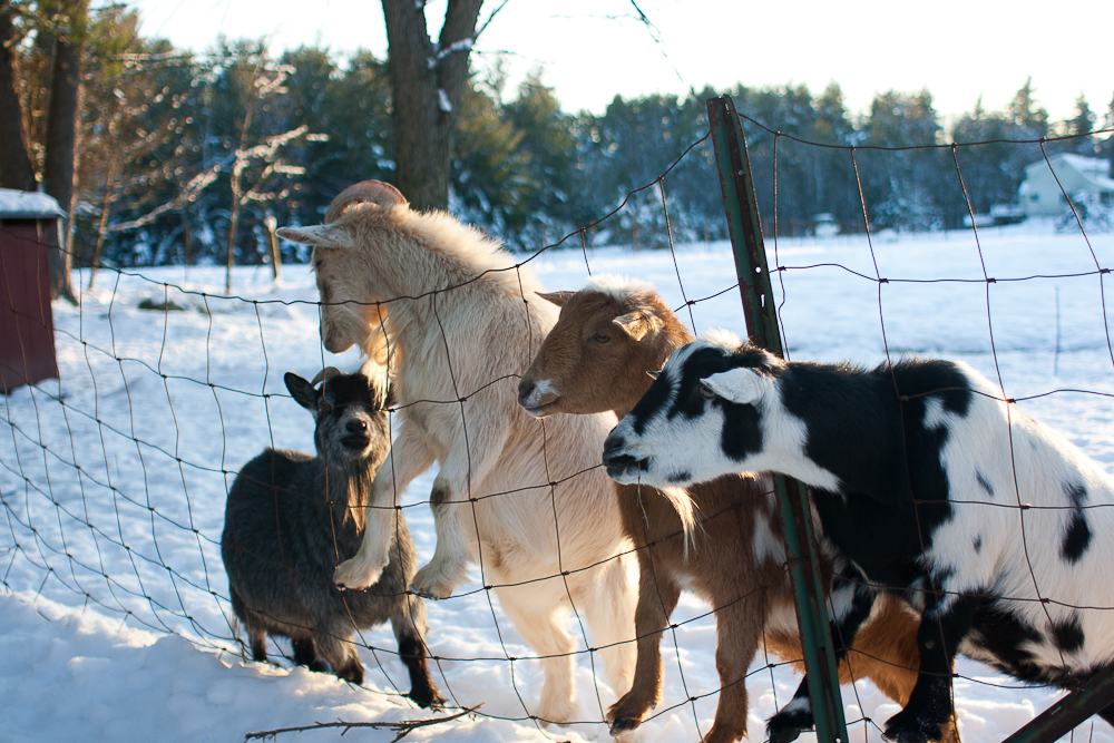 Goats on a fence